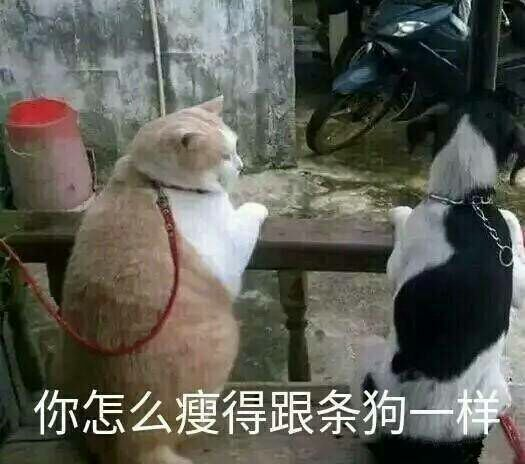 猫咪:你怎么瘦的跟条狗一样